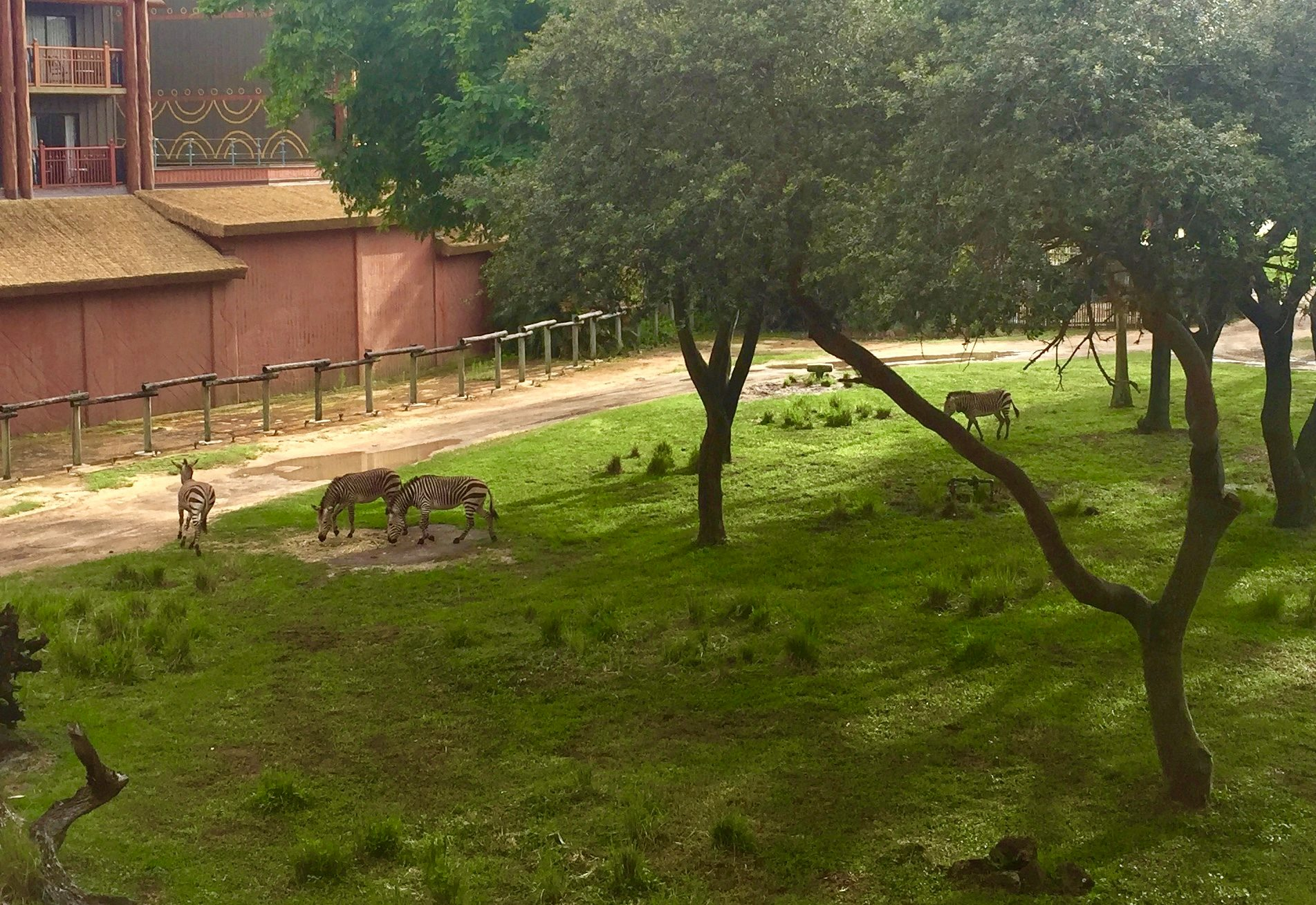 Zebras | Disney's Animal Kingdom Lodge